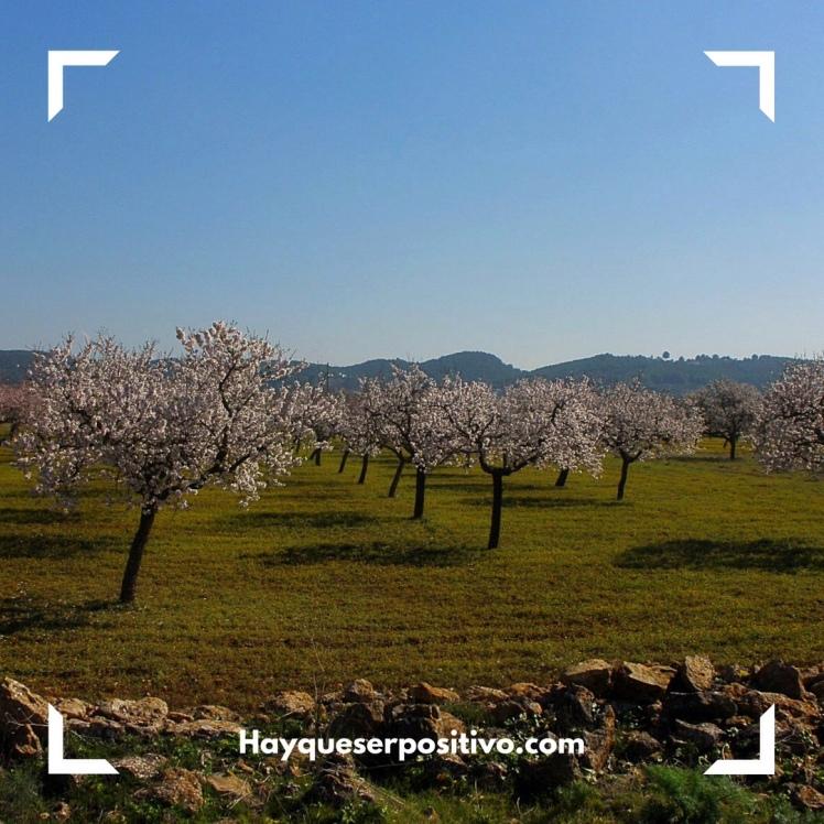 Almendros en flor, San Mateo, Ibiza