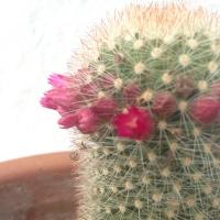 No dejes el cactus morir: puede florecer