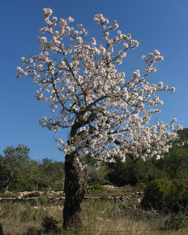 Almendro en flor, Ibiza